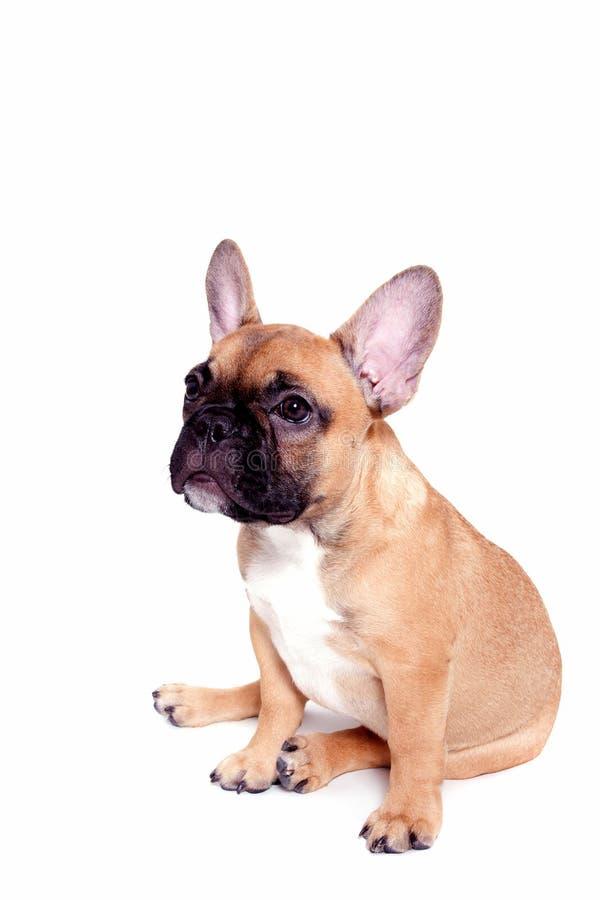 щенок бульдога французский маленький стоковые фото