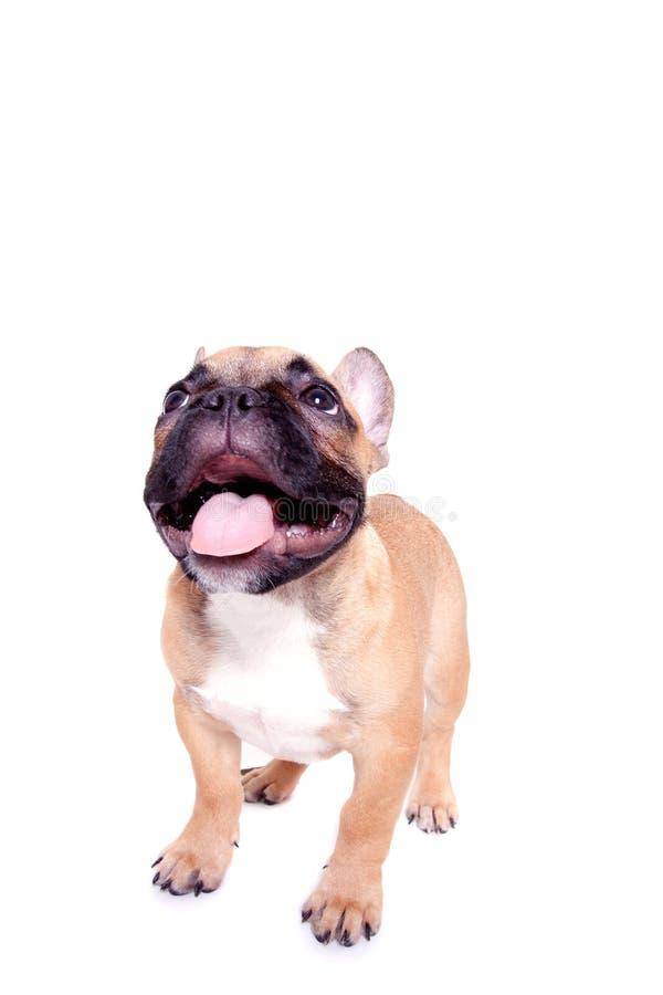 щенок бульдога французский маленький стоковые фотографии rf