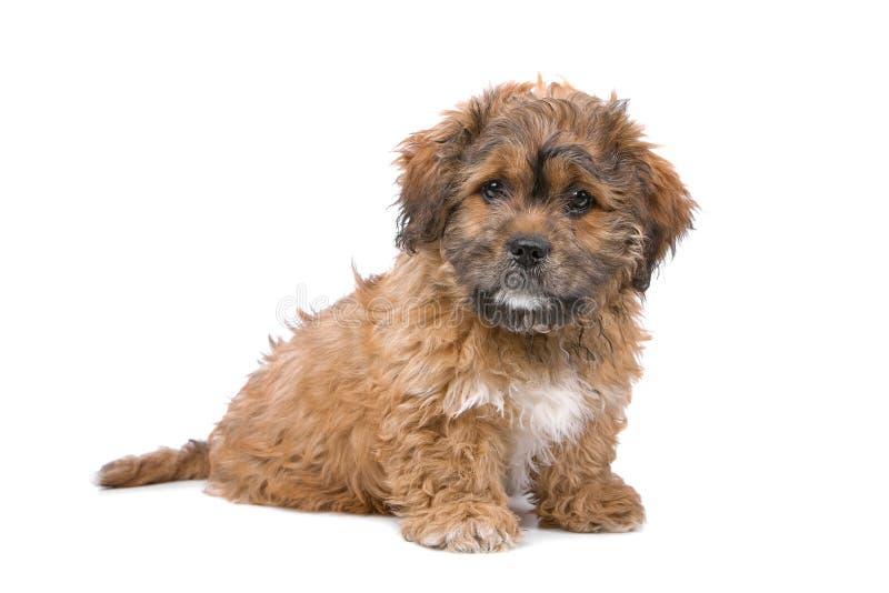 щенок Бумера стоковое фото