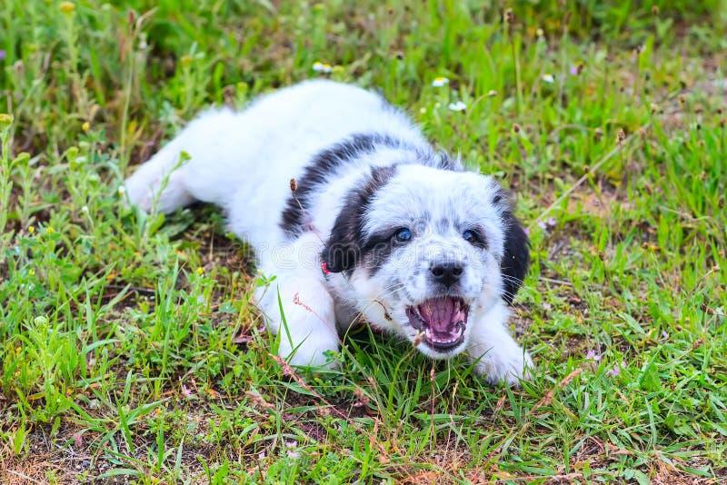 Щенок лежа в траве и лаяя, близкий поднимающий вверх портрет стоковое изображение rf