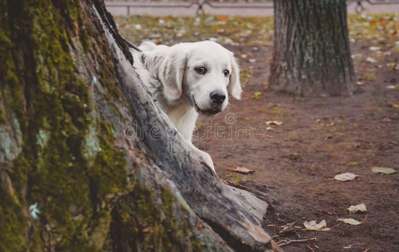 Щенок золотого retriever peeking вне от за retriever treea золотого щенок peeking вне от за дерева стоковые фотографии rf