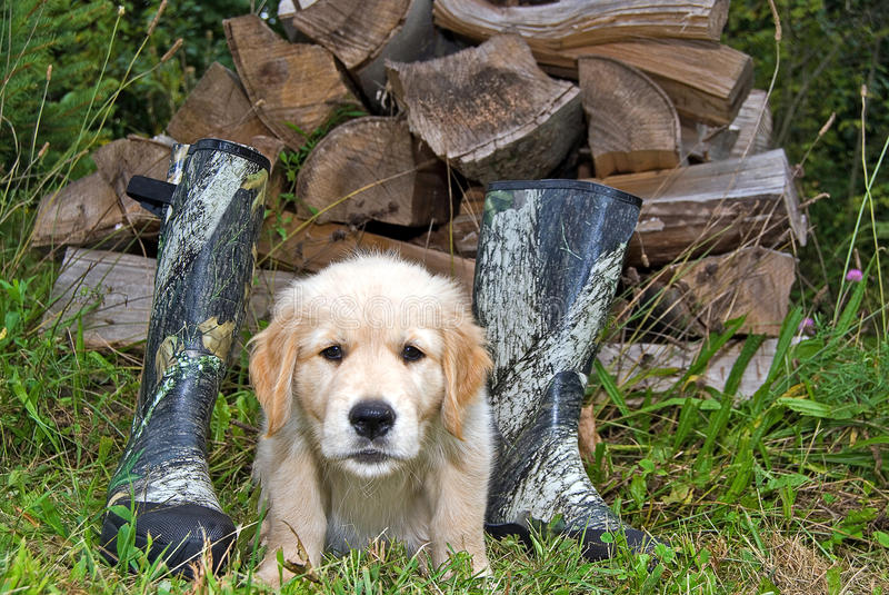 Щенок золотого Retriever с ботинками стоковая фотография rf