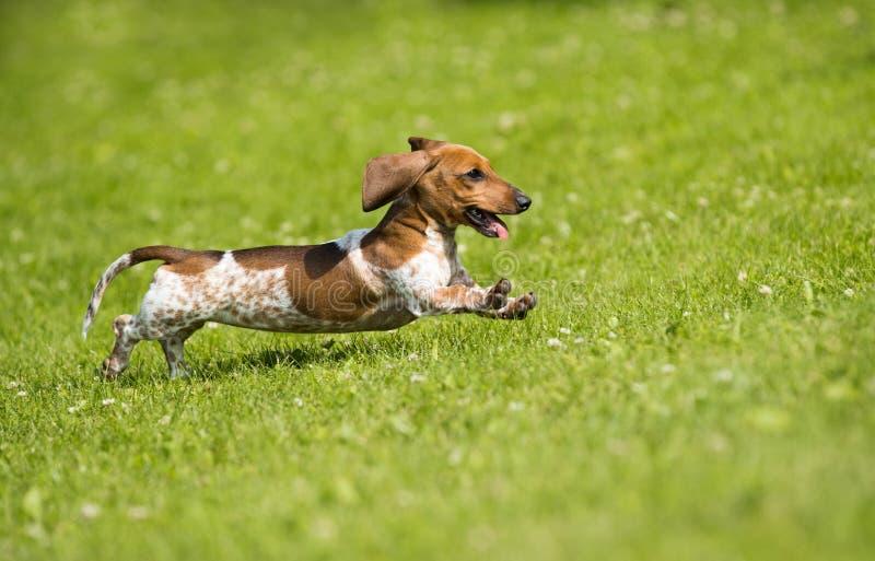 Щенок играет на траве стоковое фото rf
