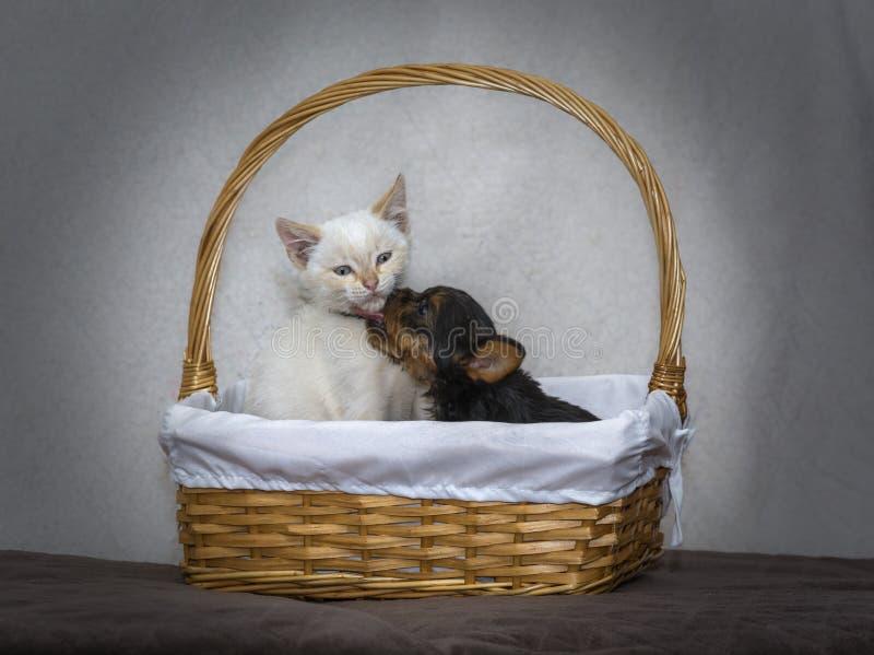 Щенок йоркширского терьера целуя белого котенка в корзине калитки стоковые изображения rf