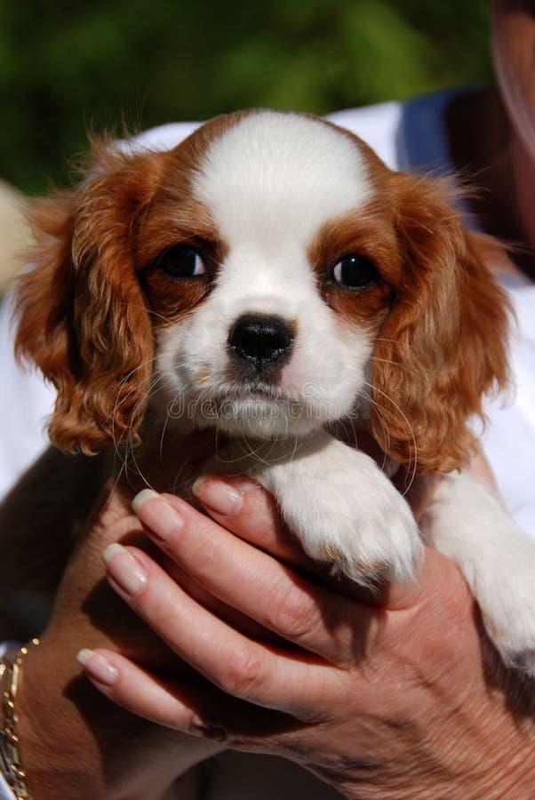 щенок короля charles стоковые фото