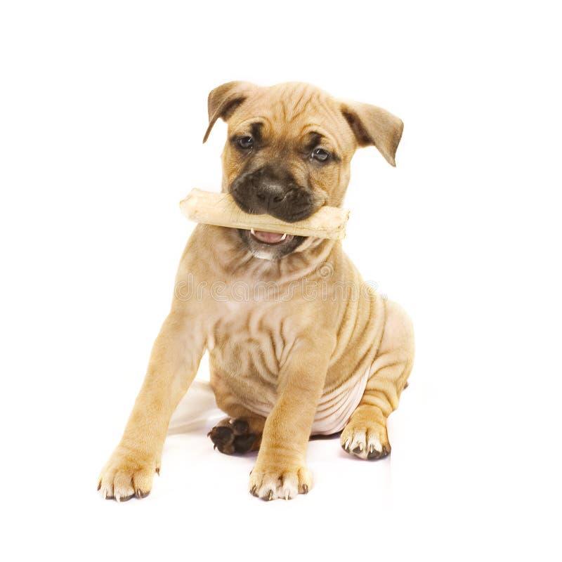 щенок косточки стоковое фото rf