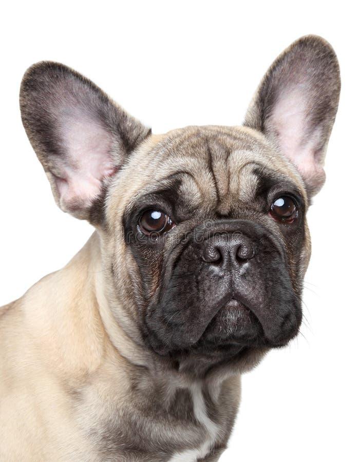 щенок портрета бульдога близкий французский вверх стоковое фото