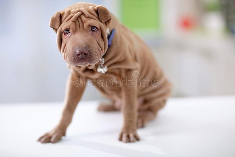 щенок портрета pei собаки shar стоковое изображение