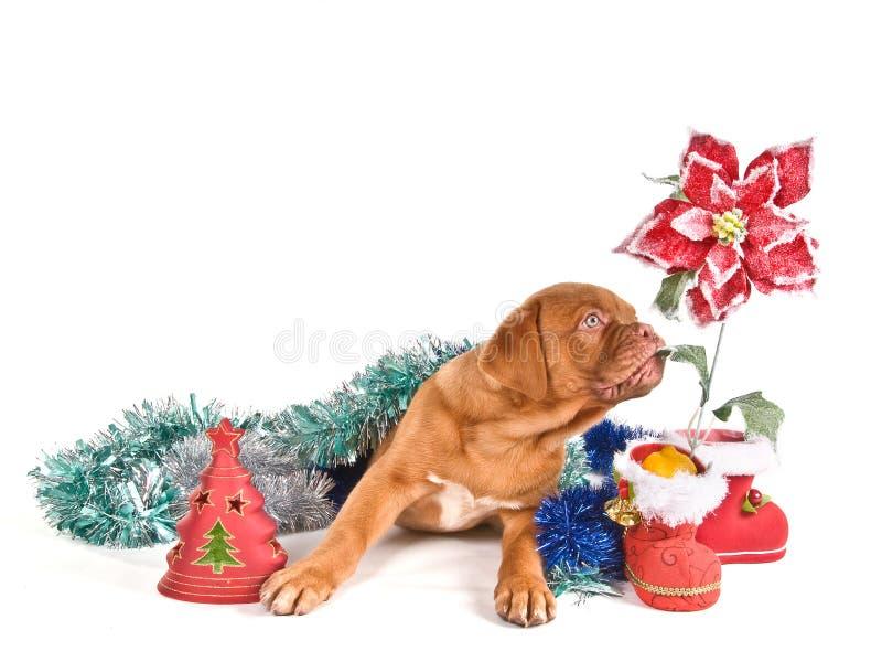 щенок рождества стоковые изображения