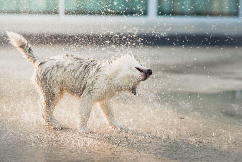 Щенок сибирской лайки трясет воду с своего пальто стоковая фотография