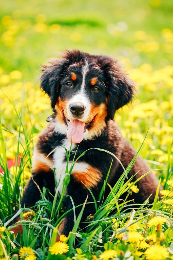 Download Щенок собаки горы Bernese (Berner Sennenhund) Стоковое Фото - изображение насчитывающей черный, прелестное: 40591416