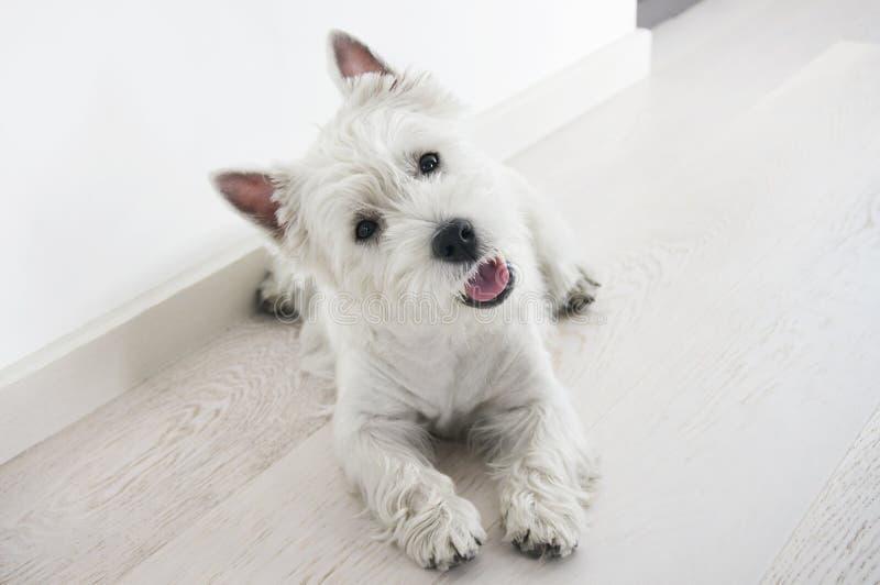 Щенок собаки - терьер западной гористой местности белый стоковое изображение