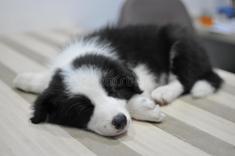 Щенок спать на таблице стоковые изображения rf