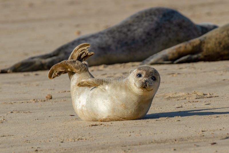Щенок уплотнения на пляже как часть колонии уплотнения на Horsey, Norf стоковые фото