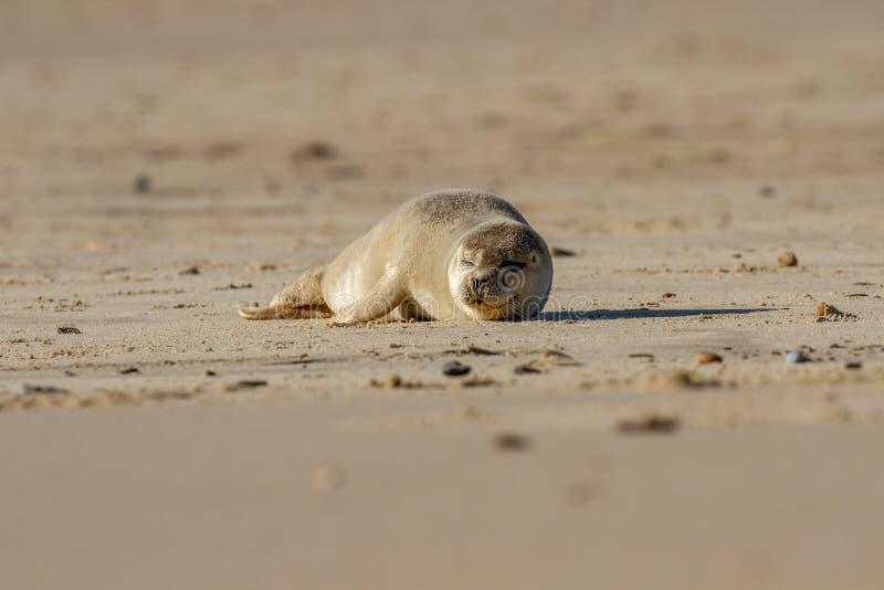 Щенок уплотнения на пляже как часть колонии уплотнения на Horsey, Norf стоковые фотографии rf