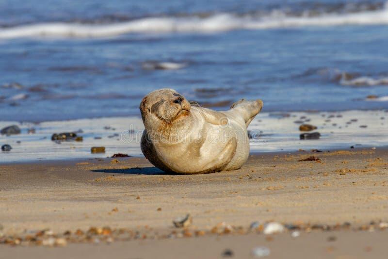 Щенок уплотнения на пляже как часть колонии уплотнения на Horsey, Norf стоковое изображение