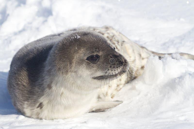 Щенок уплотнения Weddell который поворачивает его голову в снеге стоковые фотографии rf