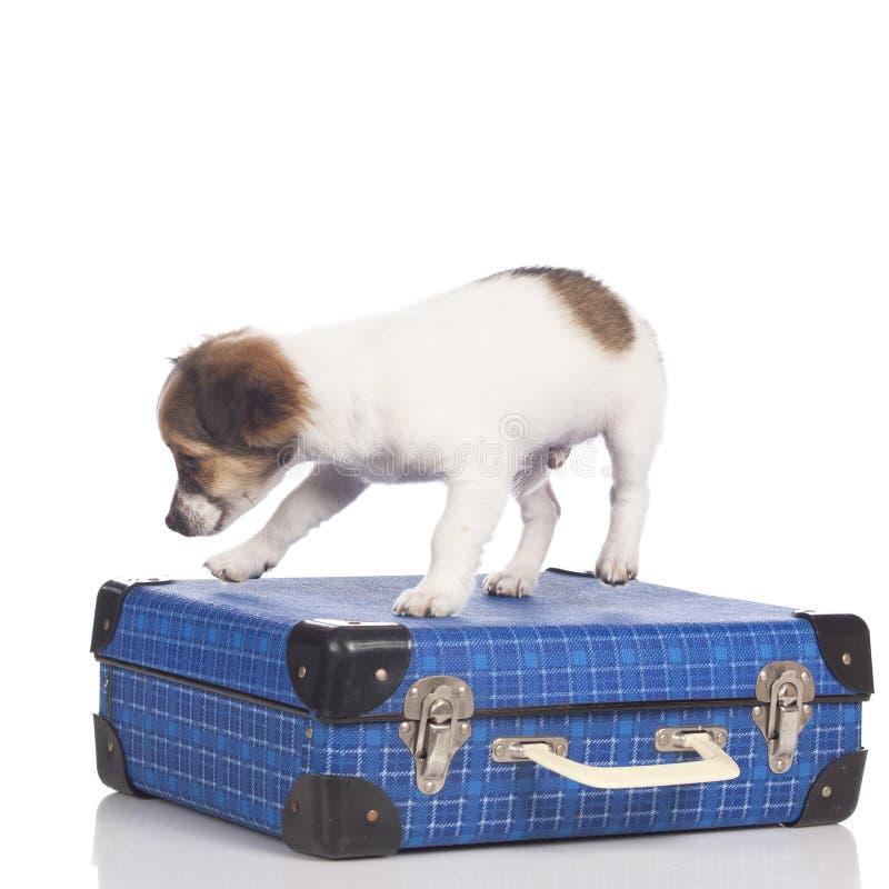 Щенок чихуахуа идя на чемодан стоковая фотография rf