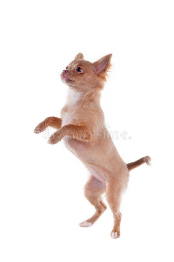 щенок чихуахуа скача стоковое фото rf