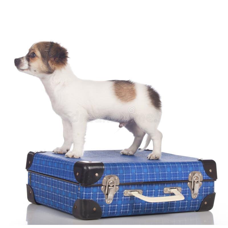 Щенок чихуахуа стоя на чемодане стоковые фото