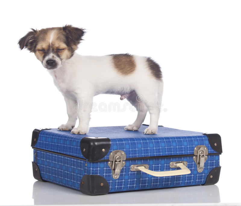 Щенок чихуахуа стоя на чемодане стоковые изображения