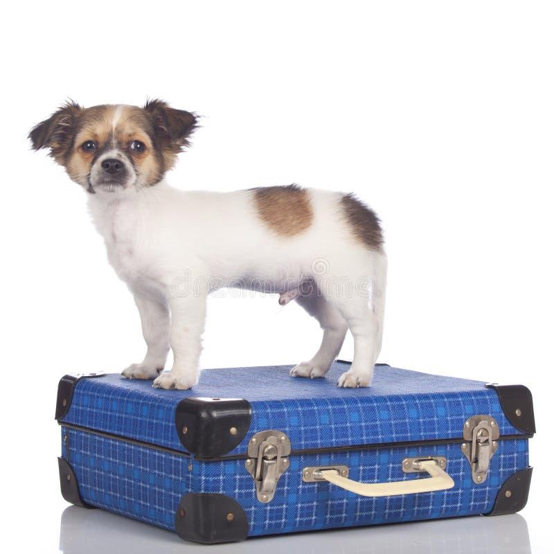 Щенок чихуахуа стоя на чемодане стоковые изображения rf