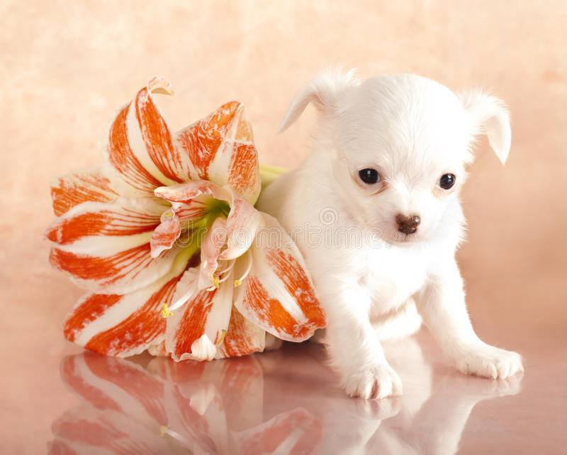 щенок чихуахуа стоковое изображение rf