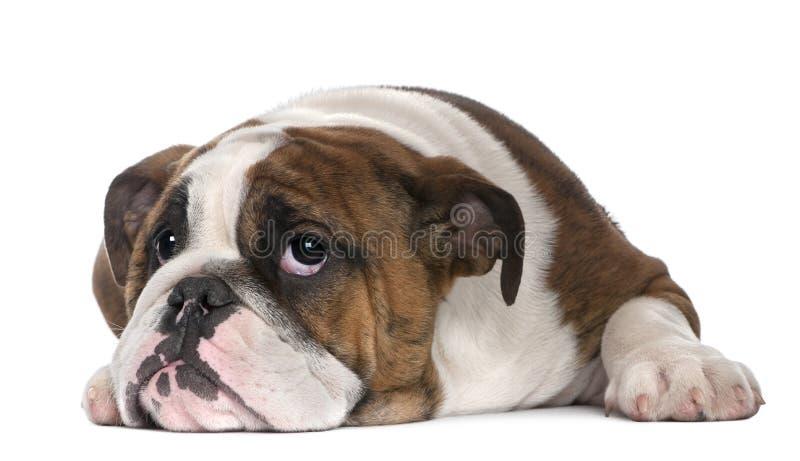 щенок 4 месяцев бульдога английский лежа старый стоковые изображения rf