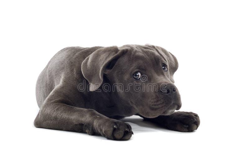щенок corso тросточки стоковая фотография
