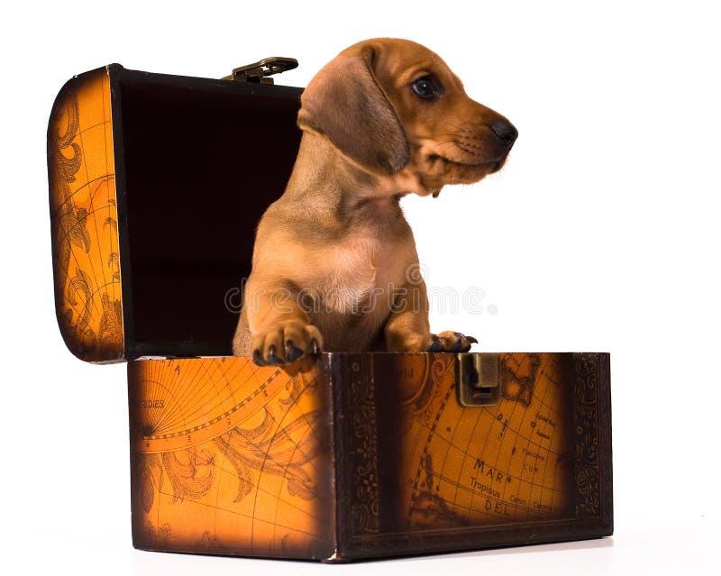 щенок dachshund стоковые фотографии rf