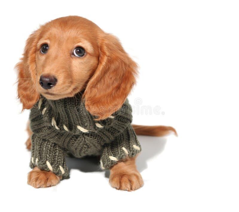 щенок dachshund стоковые изображения rf