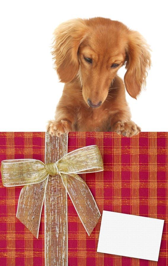 Download щенок dachshund стоковое фото. изображение насчитывающей собач - 6854348