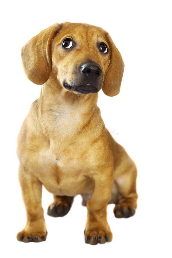 щенок dachshund стоковые фото