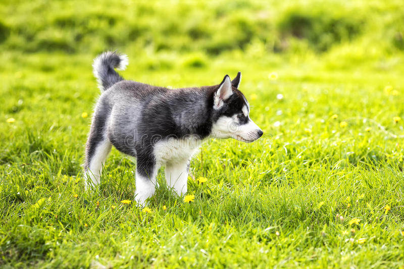 Щенок Laika на траве стоковое фото rf