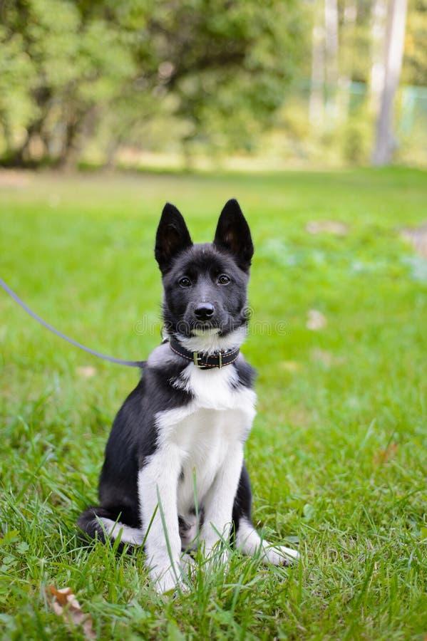 Щенок Laika, охотничья собака стоковое изображение rf