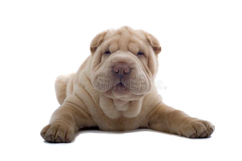 щенок pei собаки shar стоковое изображение rf