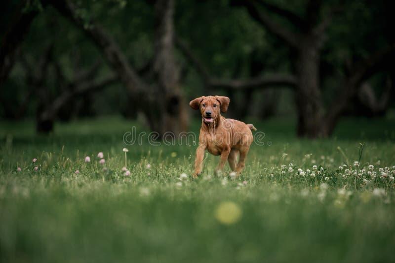 Щенок Rhodesian Ridgeback бежать через зеленую траву в саде стоковое фото rf