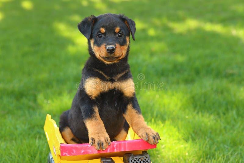 Щенок Rottweiler сидя в самосвале игрушки стоковые фотографии rf