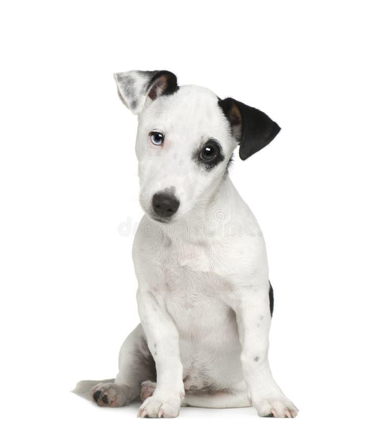 Download щенок Russell 5 месяцев Jack Стоковое Фото - изображение насчитывающей портрет, любимчик: 6851946