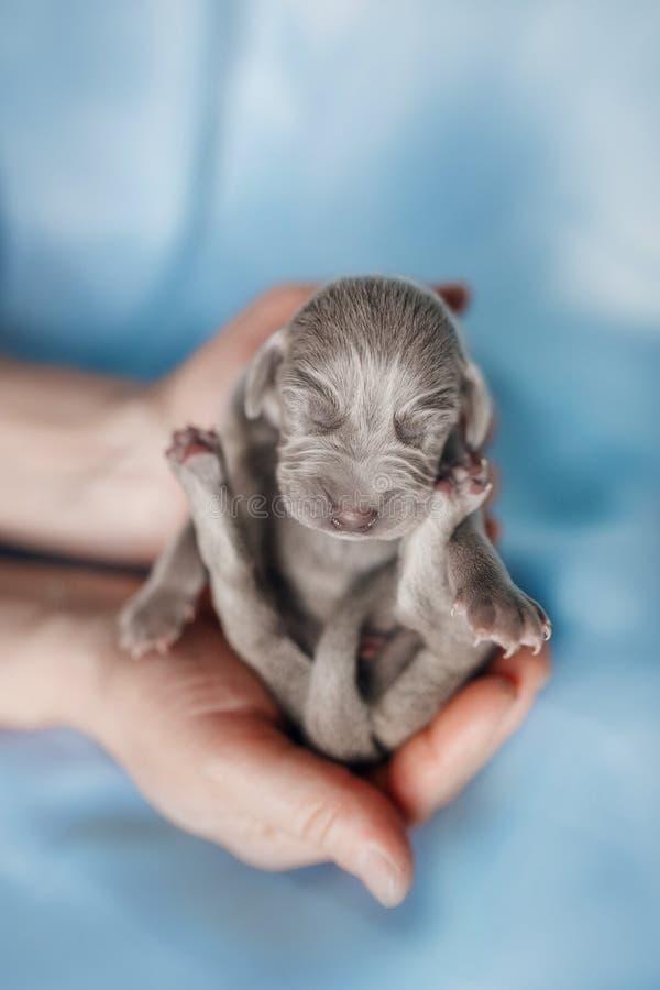Щенок Veimaraner щенок который имеет неделю спать на его руках на голубой ткани стоковые фото