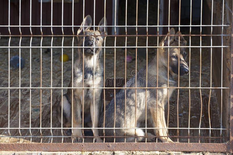 Щенята собаки овчарки стоковые изображения