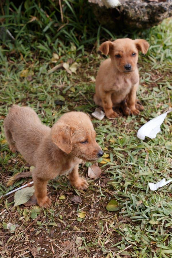 Щенята собаки стоковая фотография rf