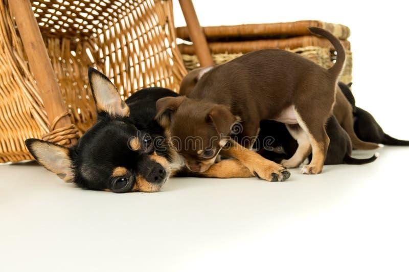 Download Щенята чихуахуа собаки матери подавая Стоковое Изображение - изображение насчитывающей друг, женщина: 37930655