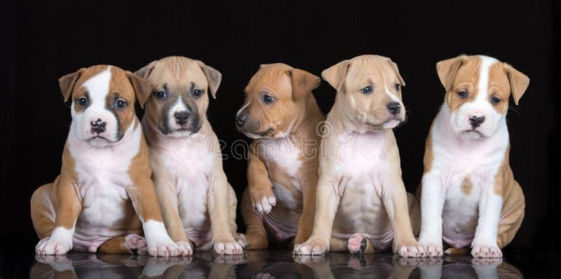 5 щенят терьера Стаффордшира представляя на черноте стоковое фото