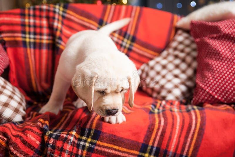 2 щенят labrador в студии рождества стоковые фотографии rf