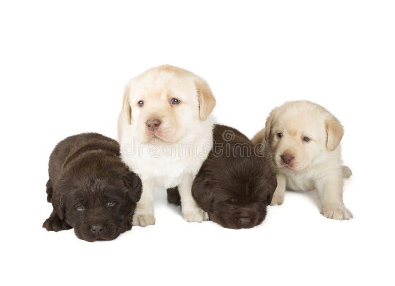 5 щенят Retriever Лабрадора стоковые изображения rf