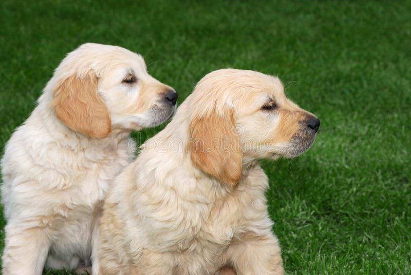 2 щенят Retriever Golder стоковое изображение rf