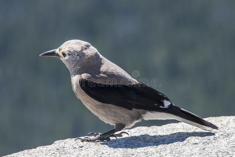 Щелкунчик s clark птицы стоковое фото rf