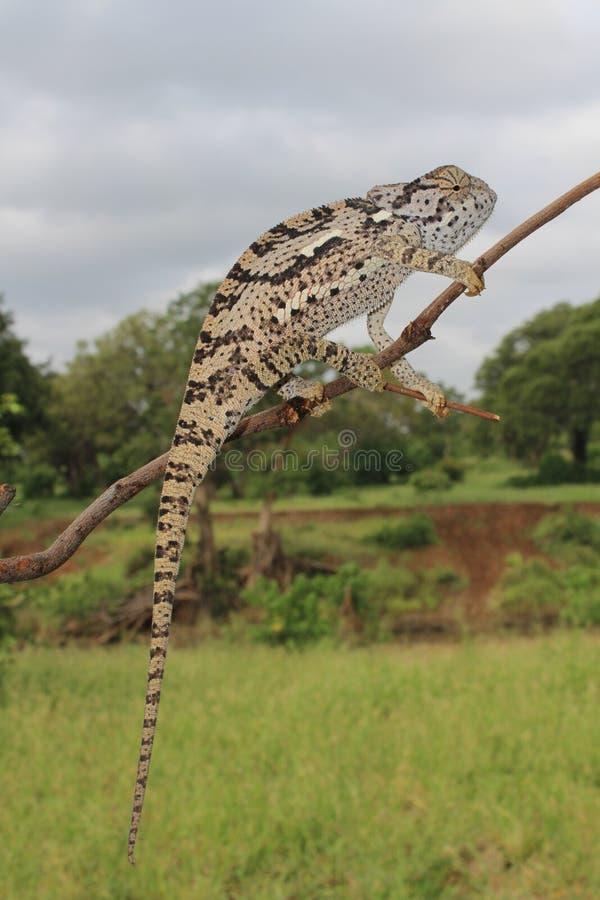 щиток хамелеона necked стоковые изображения