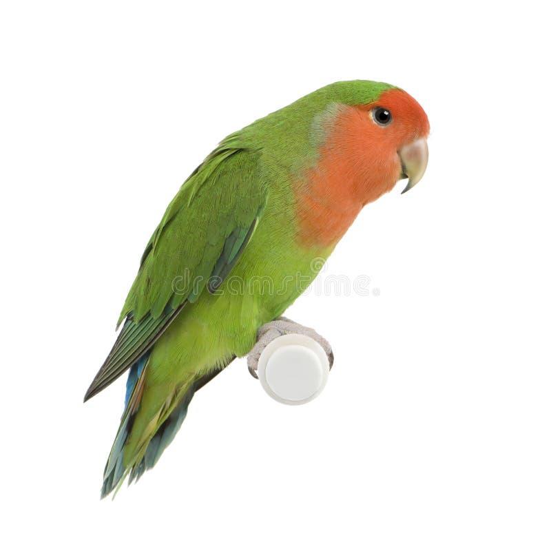 ый персик lovebird стоковые изображения rf